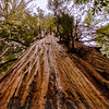 Looking Up at Roy's Redwoods