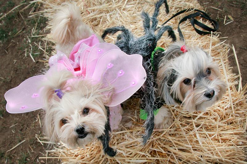 Muffin dressed as a pink butterfly and Boomer dressed as a spider, both Morkies attend the Dogbone Meadow fundraiser BarkFest to help fund the Novato dog park in Novato, Calif. Saturday, October 21, 2012. (Special to the IJ/James Cacciatore)