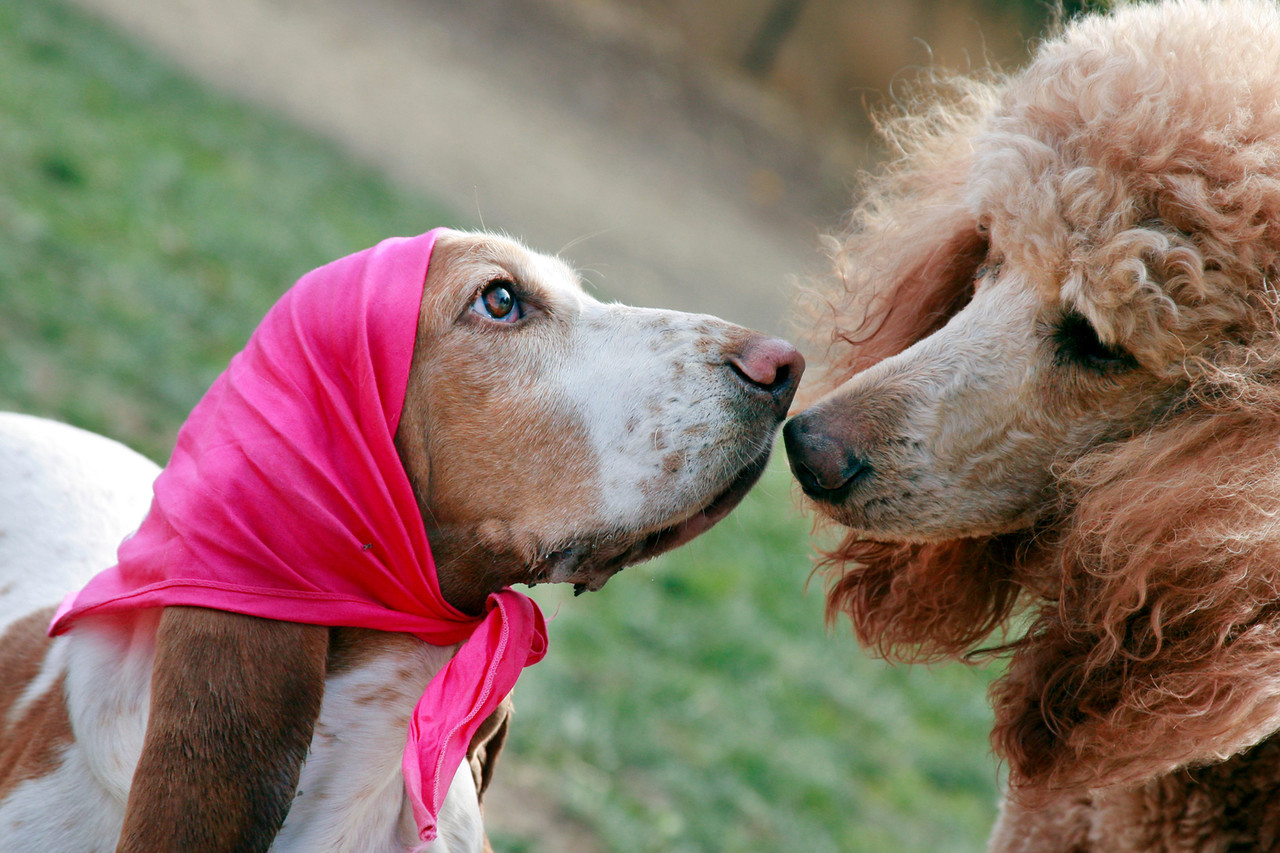 Sadie a Basset Hound rescue available for adoption says hello to a new poodle friend at the Dogbone Meadow fundraiser BarkFest in Novato, Calif. Saturday, October 21, 2012. (Special to the IJ/James Cacciatore)