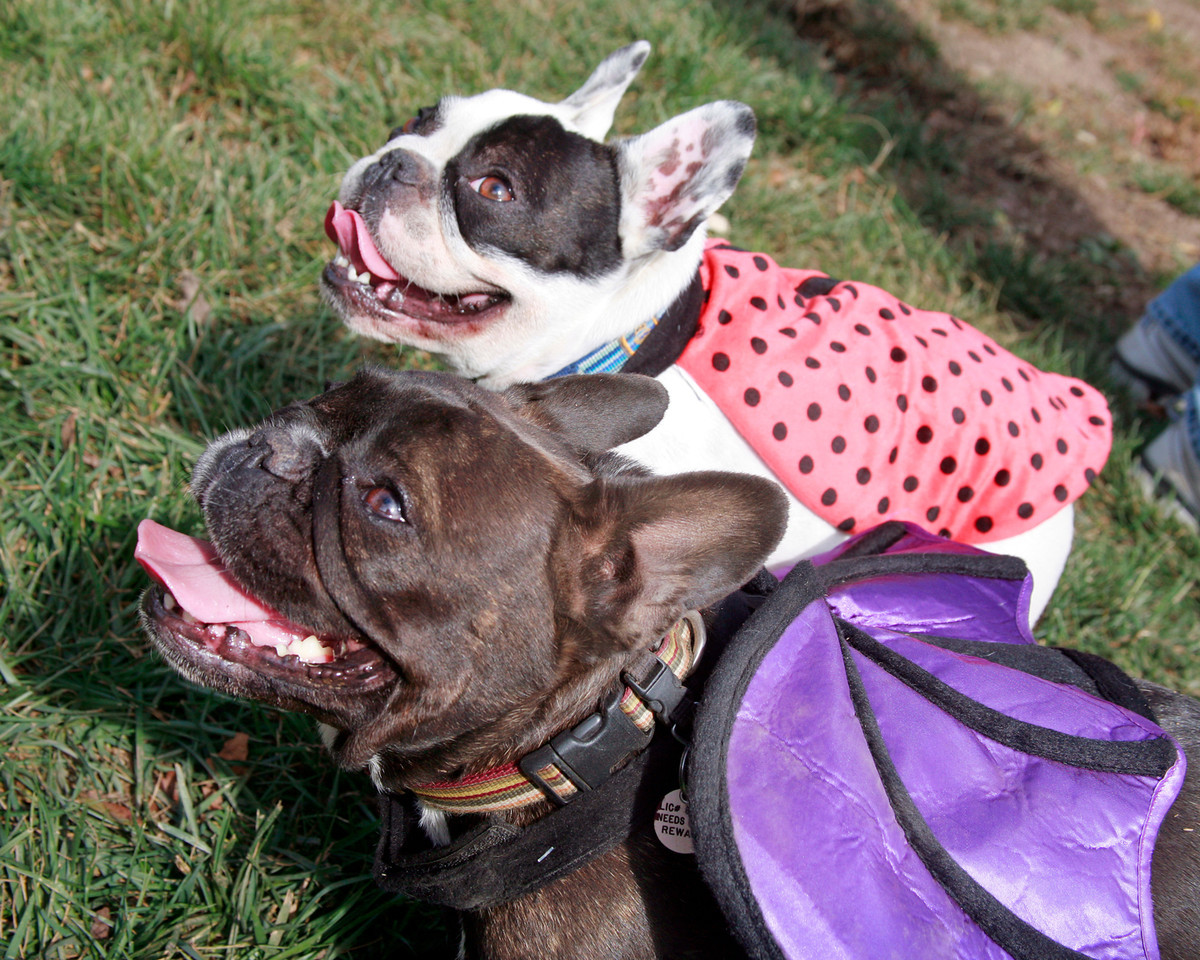 French Bulldogs, Zoe dressed as a purple bat and Tobee dressed as a lady bug attend the Dogbone Meadow fundraiser BarkFest to help fund the Novato dog park in Novato, Calif. Saturday, October 21, 2012. (Special to the IJ/James Cacciatore)