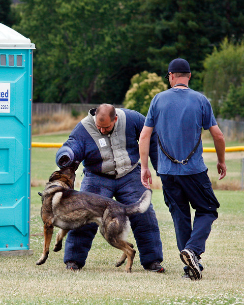 Novato Police dog Ingo latches on to a training officer wearing a bite suit as his handler officer Kevin Naugle closes in to take control during a training class at Novato High School in Novato, Calif. Wednesday, July 18, 2012.(Special to the IJ/James Cacciatore)