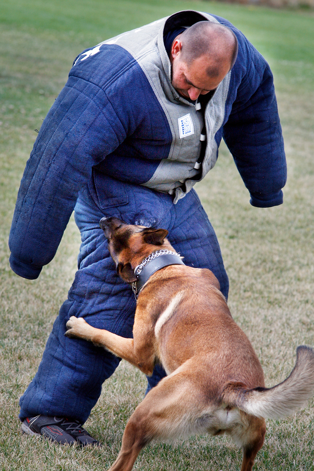 Novato Police dog Metz practices his bite technique during a training class at Novato High School in Novato, Calif. Wednesday, July 18, 2012.(Special to the IJ/James Cacciatore)