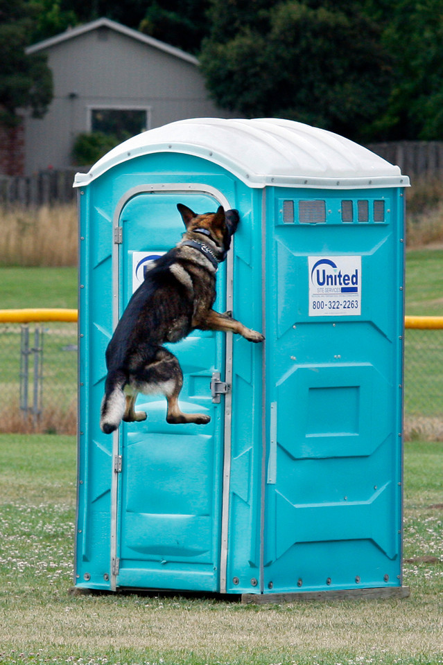 """Novato Police dog Ingo uses his scent tracking to find the hiding """"bad guy"""" during a training class at Novato High School in Novato, Calif. Wednesday, July 18, 2012.(Special to the IJ/James Cacciatore)"""