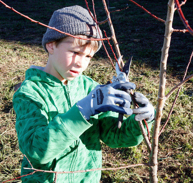 8 year old Jacob Thiggpen prunes a fruit tree as part of a Martin Luther King Day volunteer work crew at the community garden on Cole Drive in Marin City, Calif. on Monday, January 16, 2012.  (Special to the IJ/James Cacciatore Photo)