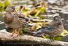 Duck comparison.  Female Mallard and Wood Duck on a log in the beaver pond by the McLane Creek Nature Trail near Olympia, Washington.