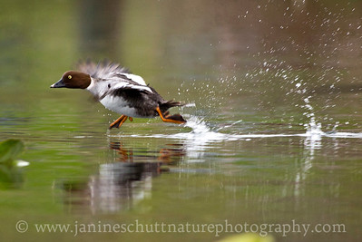 Female Common Goldeneye on a watery runway.  Photo taken while kayaking on Kitsap Lake in Bremerton, Washington.