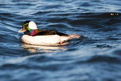 Male Bufflehead in Port Townsend, Washington.