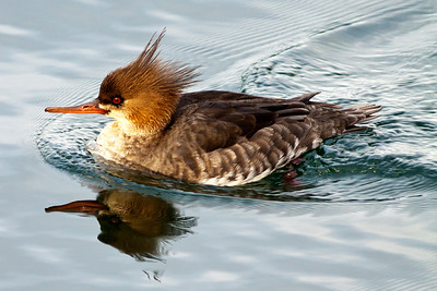 Female Red-breasted Merganser on the Sinclair Inlet in Port Orchard, Washington.