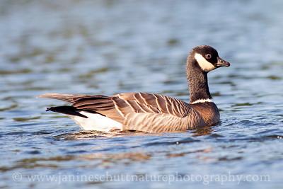Cackling Goose.  Photo taken while kayaking on Wildcat Lake near Bremerton, Washington.