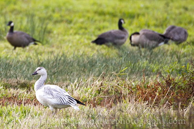 Snow Goose with Cackling Geese.  Photo taken at Nisqually National Wildlife Refuge near Olympia, Washington.