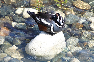 Harlequin Duck resting on a rock in the Wenatchee River at the Confluence State Park in Wenatchee, Washington.