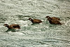 Female Harlequin Duck and 3 juveniles swimming against the current in the Elwha River, Olympic National Park near Port Angeles, Washington.