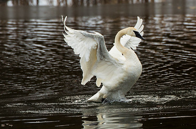 Trumpeter Swan near Cle Elum, Washington.