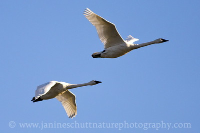 Trumpeter Swan flyover.  Photo taken in Stanwood, Washington.