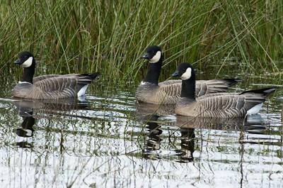 Cackling Geese at Nisqually National Wildlife Refuge near Olympia, Washington.