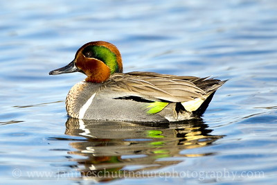 Male Green-winged Teal at Belfair State Park near Belfair, Washington.