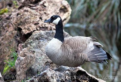 Canada Goose resting on a log at Nisqually National Wildlife Refuge near Olympia, Washington.