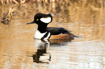Male Hooded Merganser at the River 'S' Unit of the Ridgefield National Wildlife Refuge near Ridgefield, Washington.