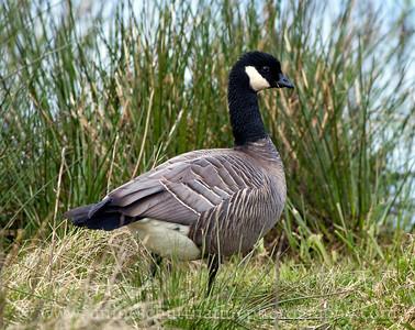 Cackling Goose at Nisqually National Wildlife Refuge near Olympia, Washington.