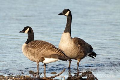 Canada Goose pair.  Photo taken at Chico Creek near Bremerton, Washington.