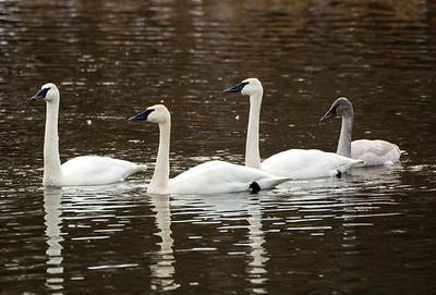 Trumpeter Swans near Cle Elum, Washington.