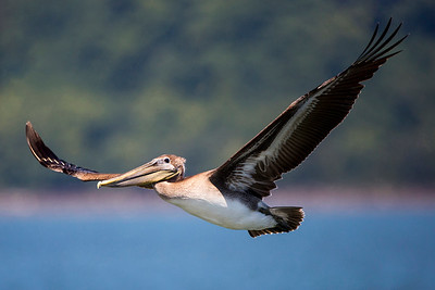 Juvenile Brown Pelican flying by the marina in Tokeland, Washington.