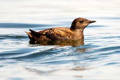 Marbled Murrelet in breeding plumage.  Photo taken at Point No Point County Park in Hansville, Washington.