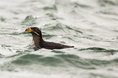 Rhinoceros Auklet in choppy water.  Photo taken at Point No Point County Park in Hansville, Washington.