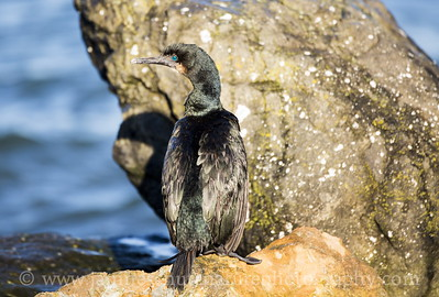 Brandt's Cormorant in non-breeding plumage.  Photo taken at Salsbury Point Park near Port Gamble, Washington.