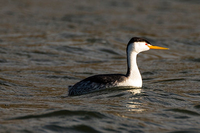 Clark's Grebe on the Potholes Reservoir in Grant County, Washington.