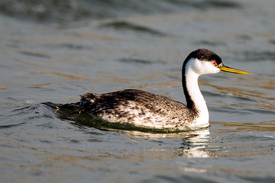Western Grebe on the Potholes Reservoir in Grant County, Washington.