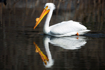 American White Pelican in breeding plumage.  Photo taken near Ephrata, Washington.