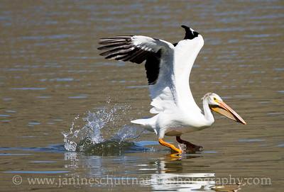 American White Pelican taking flight.  Photo taken at Chief Timothy Park near Clarkston, Washington.