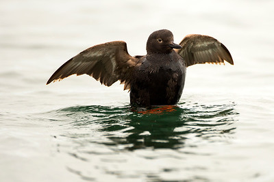 Pigeon Guillemot in breeding plumage at Point No Point County Park in Hansville, Washington.