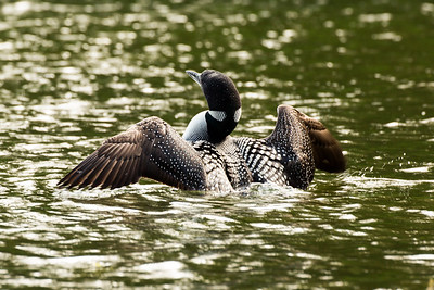 Common Loon in breeding plumage.  Photo taken at the Bonaparte Lake Recreation Area near Republic, Washington.