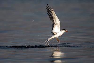 Common Tern at Point No Point in Hansville, Washington.
