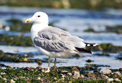 California Gull in breeding plumage at Point No Point County Park in Hansville, Washington.