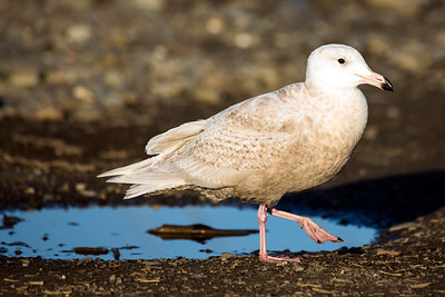 First-year Glaucous Gull  at Ediz Hook in Port Angeles, Washington.