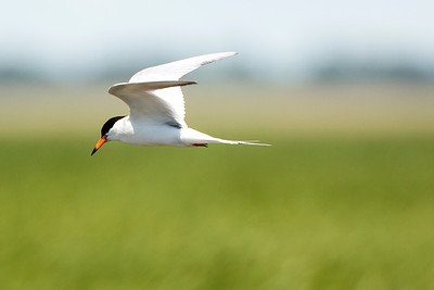 Forster's Tern at J. Clark Salyer National Wildlife Refuge in McHenry County, North Dakota.