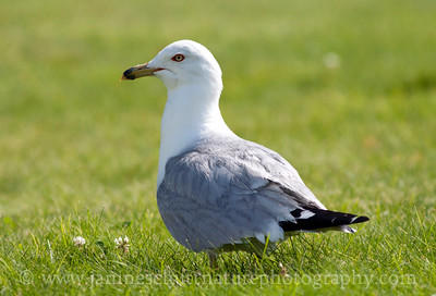 Ring-billed Gull in breeding plumage.  Photo taken at Steamboat Rock State Park near Electric City, Washington.