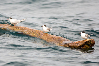 Arctic Terns resting on a log in the Pacific Ocean offshore from Westport, Washington. Photo taken from a Westport Seabirds trip in August 2019.