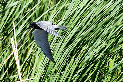 Black Tern at J. Clark Salyer National Wildlife Refuge in McHenry County, North Dakota.