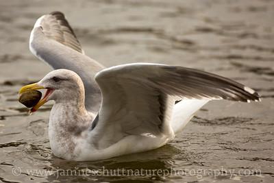 Herring Gull in non-breeding plumage.  Photo taken at the Brownsville Marina, near Bremerton, Washington.