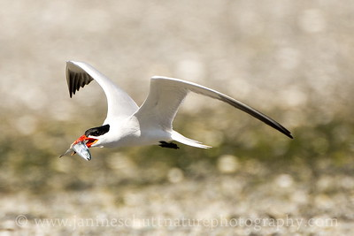 Caspian Tern with a fish at Oak Bay County Park near Port Hadlock, Washington.