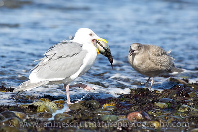 Can I have some?  Glaucous-winged Gull holding its prize--a Fat Gaper Clam--near a juvenile glaucous-winged gull.  Photo taken at Fort Flagler State Park near Port Townsend, Washington.