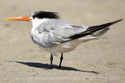 Elegant Tern near Seaview, Washington along the Long Beach Peninsula.