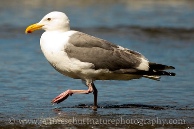 Western Gull in breeding plumage.  Photo taken from Second Beach along the Pacific Ocean near La Push, Washington.