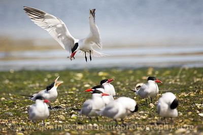 Caspian Terns at Oak Bay County Park near Port Hadlock, Washington.