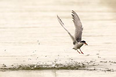 Forster's Tern at Long Lake National Wildlife Refuge in Burleigh County, North Dakota.