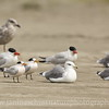 Elegant Terns, Caspian Terns, and California Gulls.  Photo taken on the shore of the Long Beach Peninsula near Ocean Park, Washington.